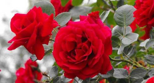 Slikovni rezultat za ruža bugarska i turska rosa damascena biljka