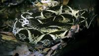 Otrovom brazilske zmije u borbu protiv covida-19? | Domoljubni portal CM | Zdravlje